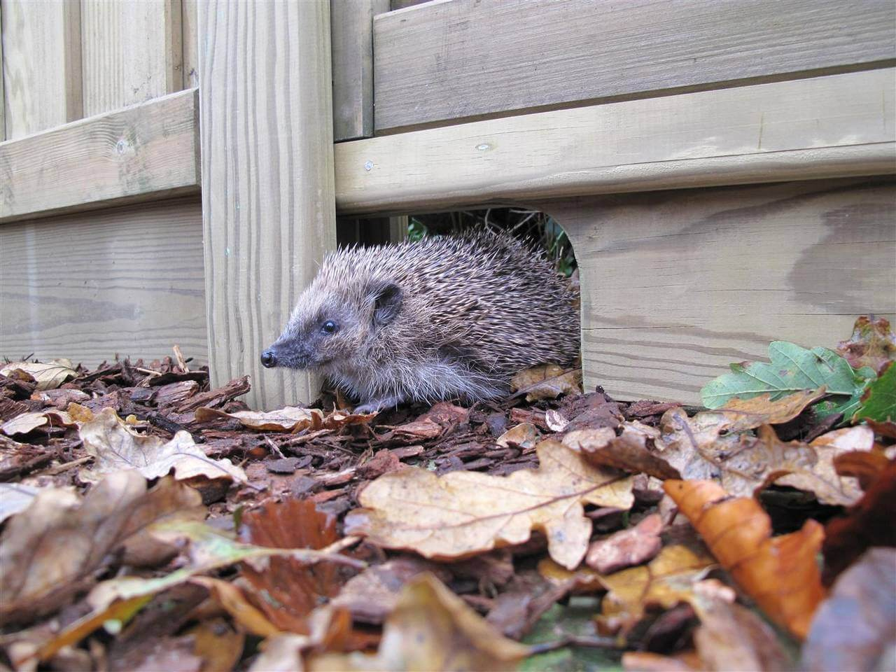 Hedgehog Fencing