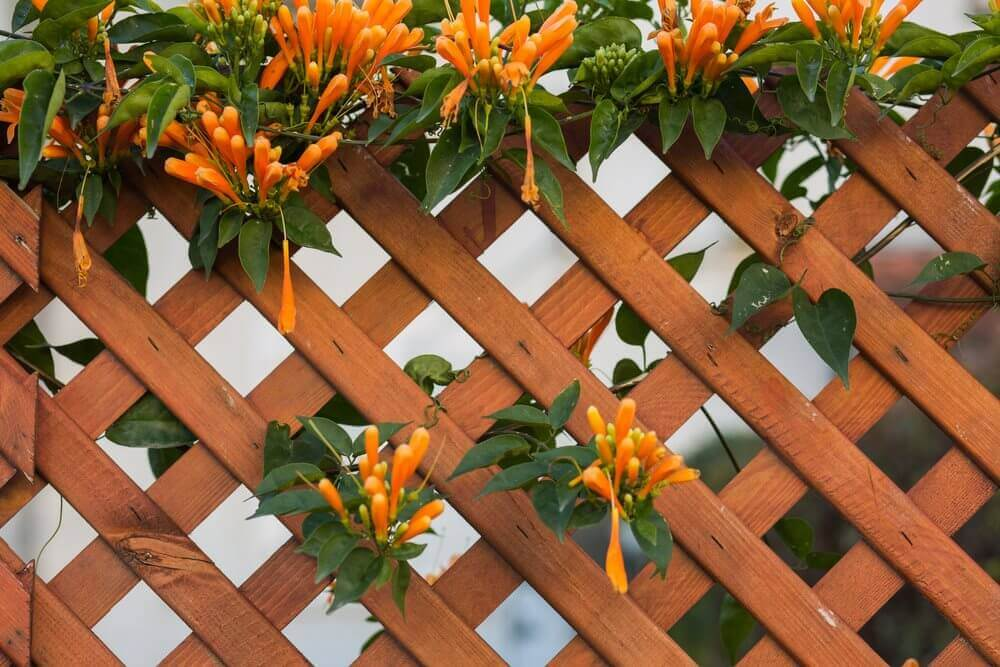 honeysuckle on trellis panel
