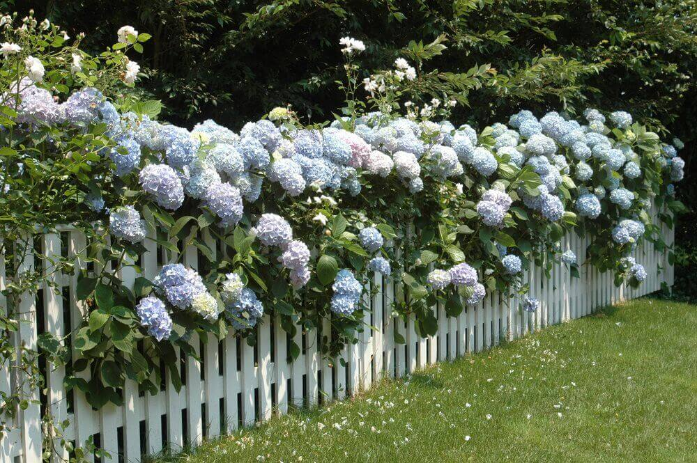 hydrangea on picket fence
