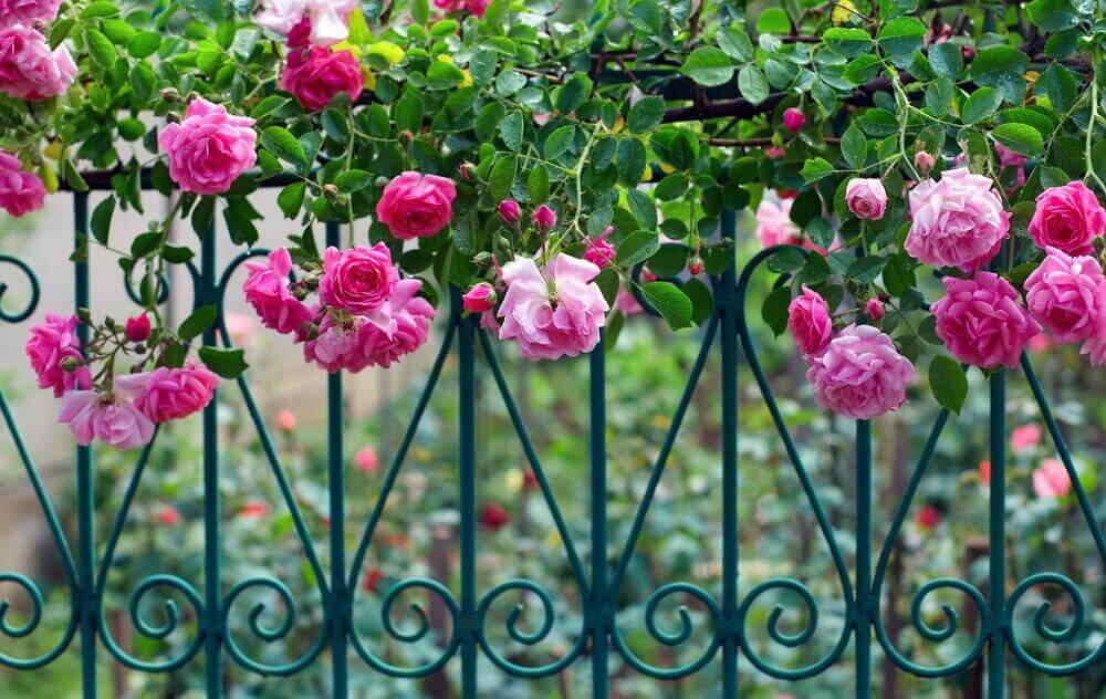 roses climbing on metal railings