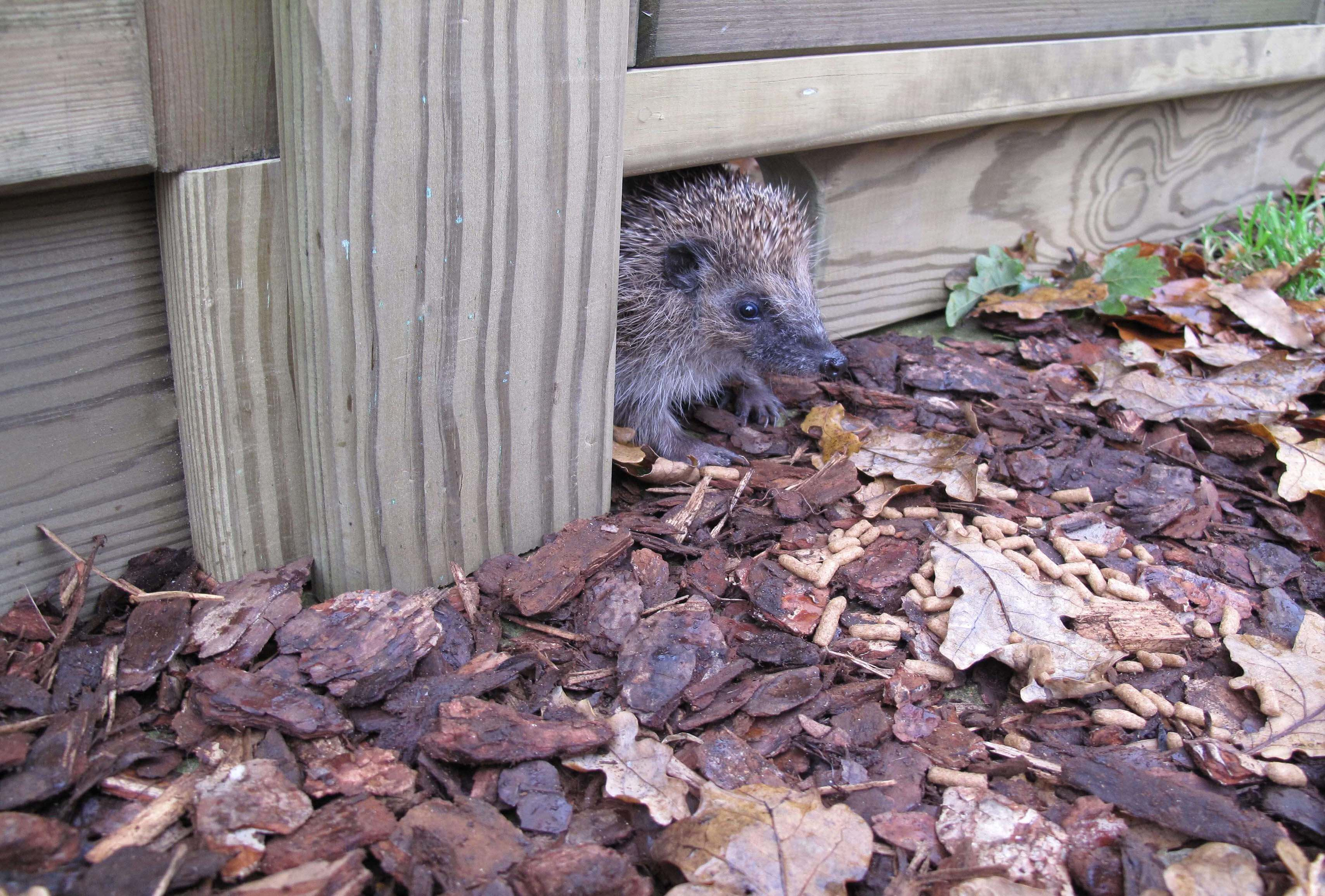 Hedgehog friendly gravel board for garden