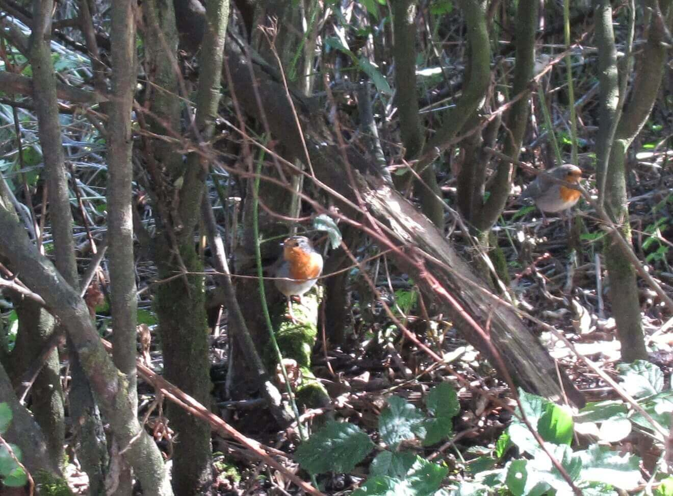 pair of Robins in hedge