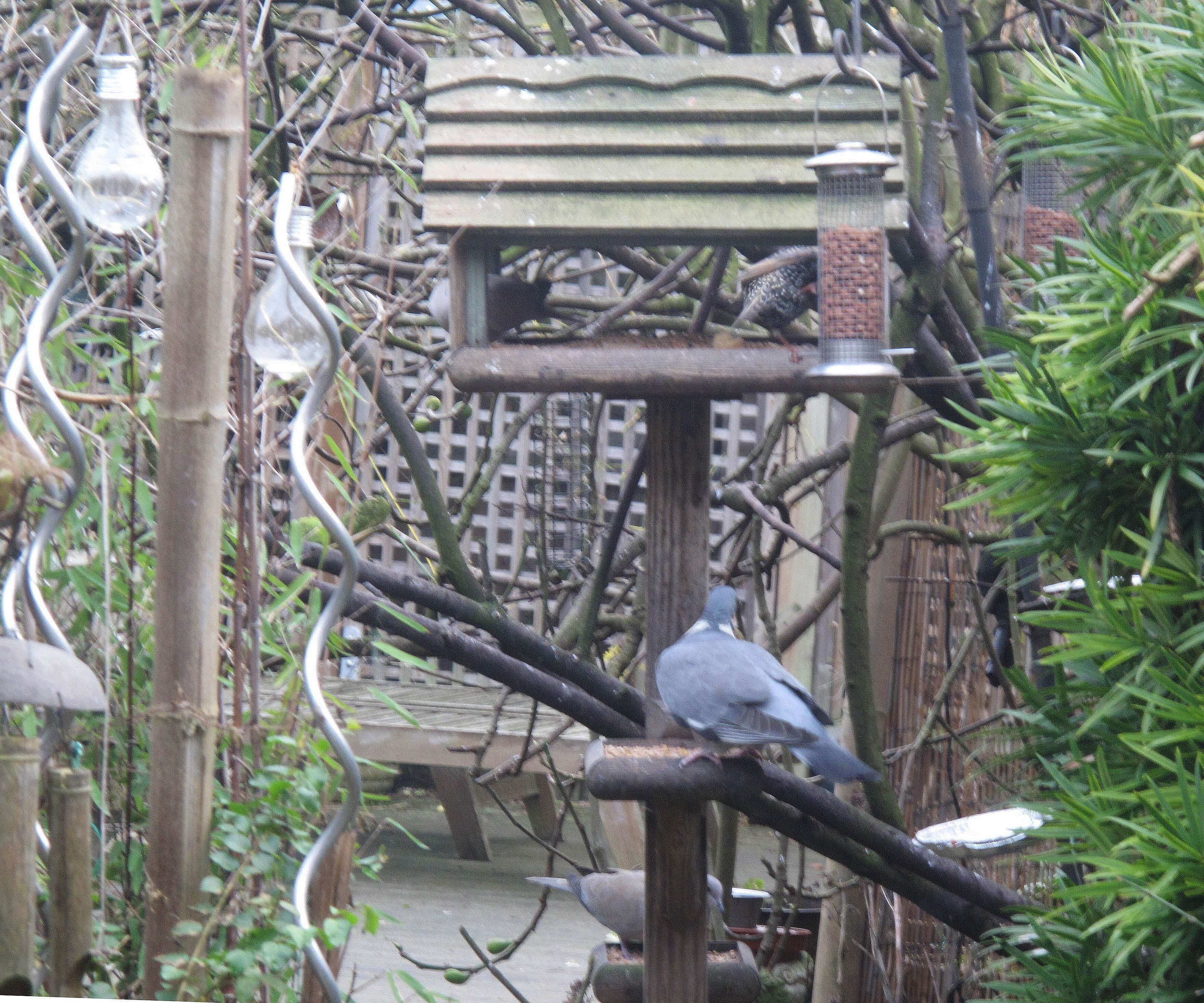 pigeons and starling on bird feeder