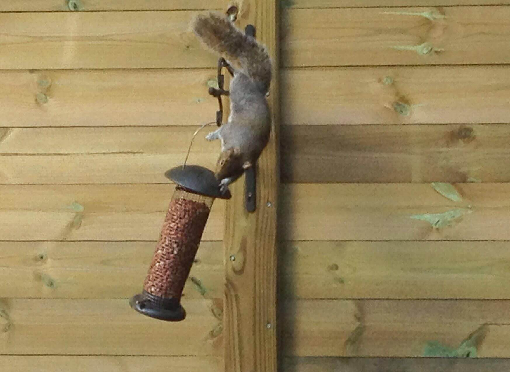 Squirrel on acoustic fencing