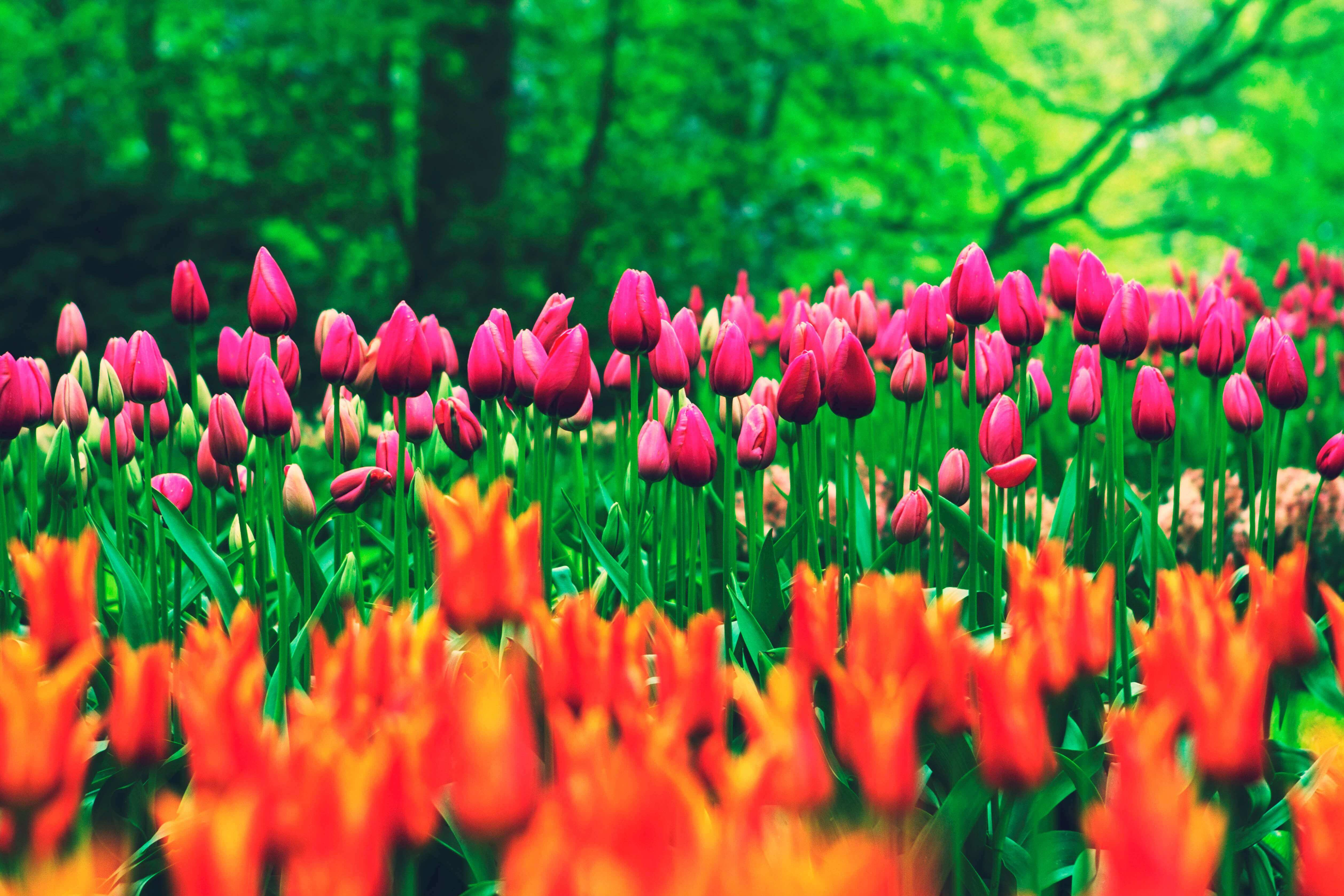 blocks of colourful Tulips