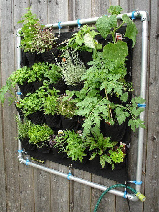 Vertical planting growing herbs on fence